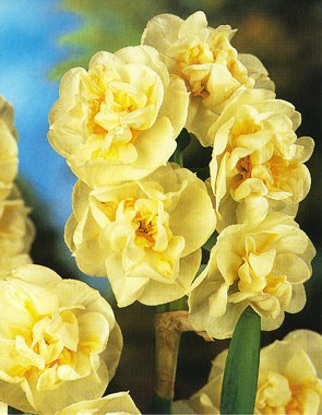 Bridalcrowng pale yellow flower with deep yellow segments near centre mightylinksfo Choice Image