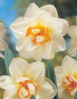 Flowerdreamg flower dream white petals with yelloworange centre mightylinksfo