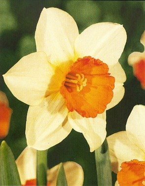 Daffodil Flowers on Off White Petals  Orange Cup